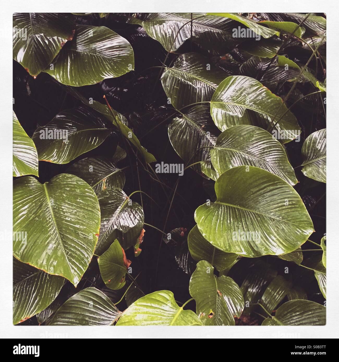 Les feuilles géantes dans un environnement de jungle Photo Stock