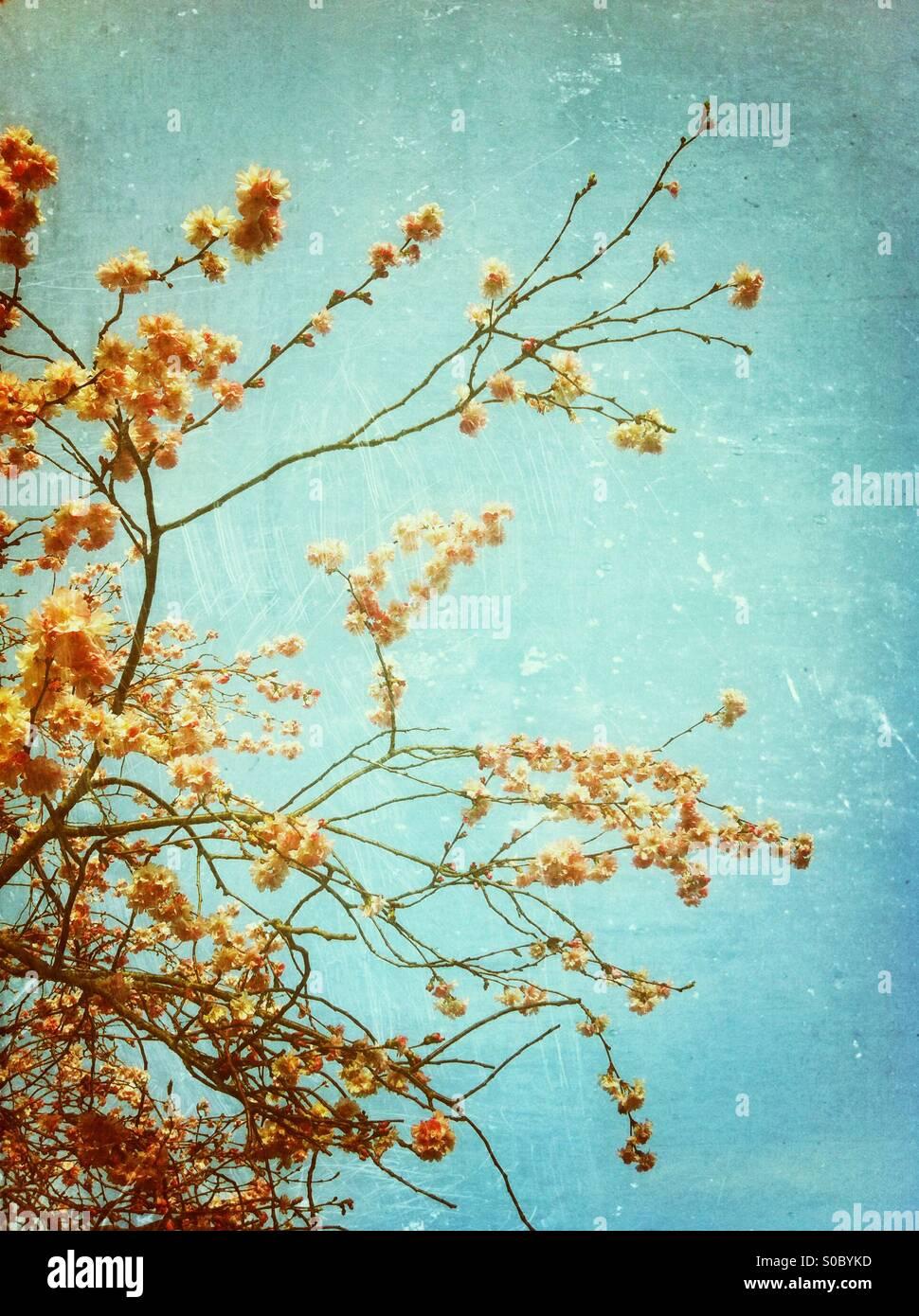 La saison des cerisiers en fleur au printemps Photo Stock