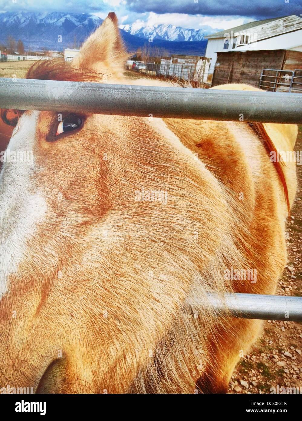 A obtenu les carottes? Un cheval curieux colle sa tête par une clôture dans l'espoir d'obtenir Photo Stock