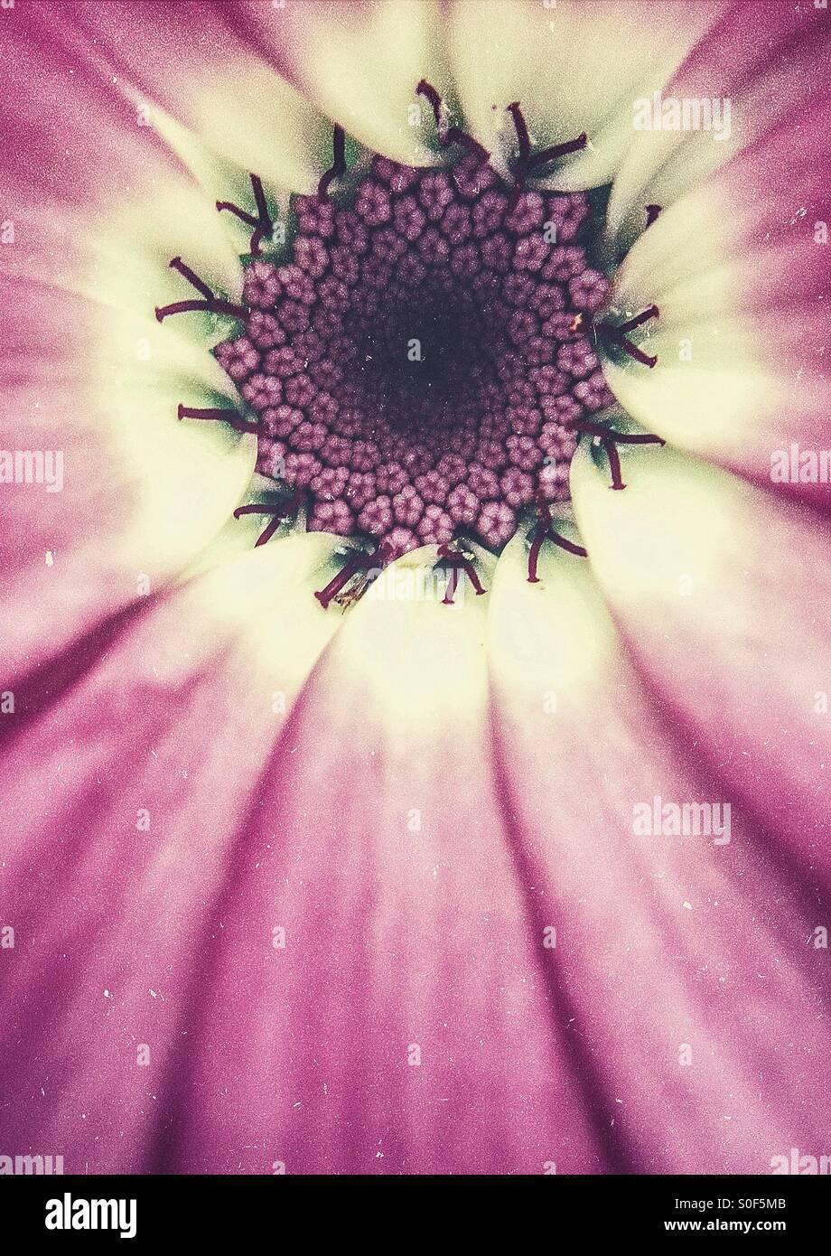 Close up d'un cinéraire Photo Stock