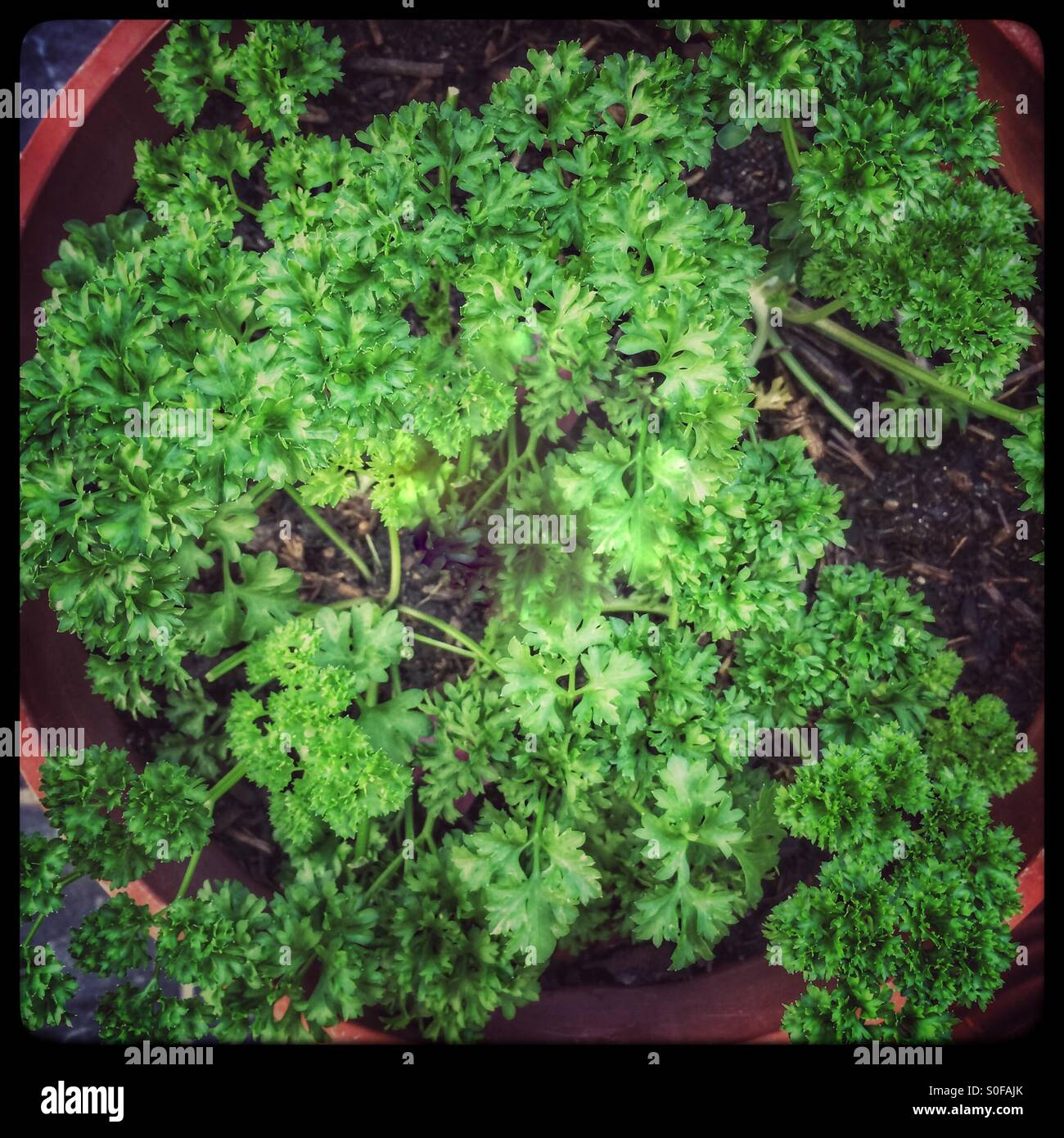 parsley pot photos parsley pot images alamy. Black Bedroom Furniture Sets. Home Design Ideas