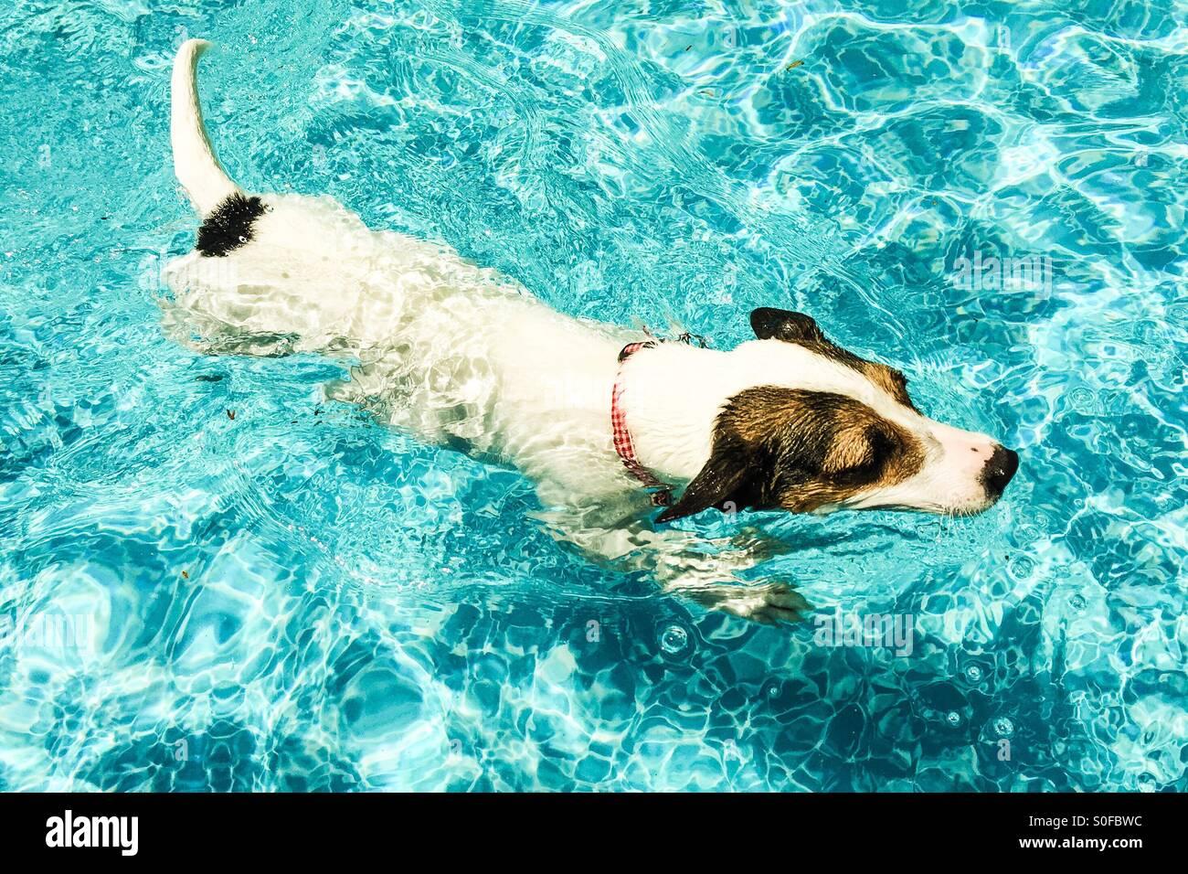Piscine chien dans l'eau dans la piscine extérieure; éditer pastel. Photo Stock