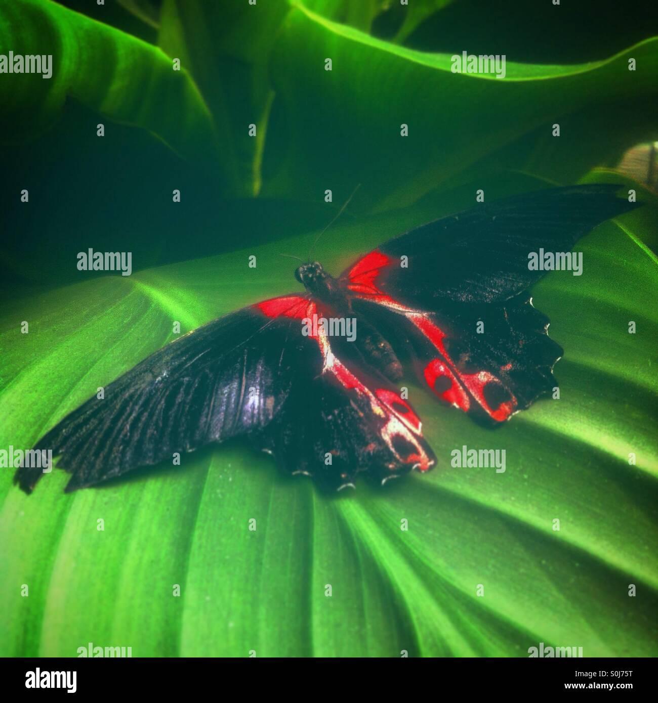 Papillon noir et rouge, sur une feuille verte. Photo Stock