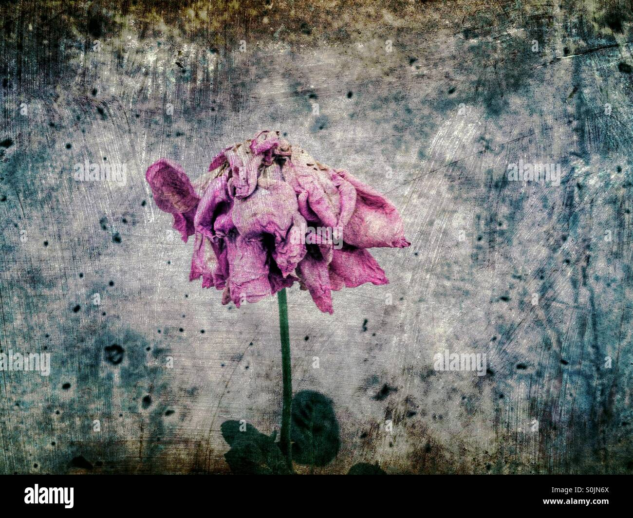 Séchage de rose Banque D'Images
