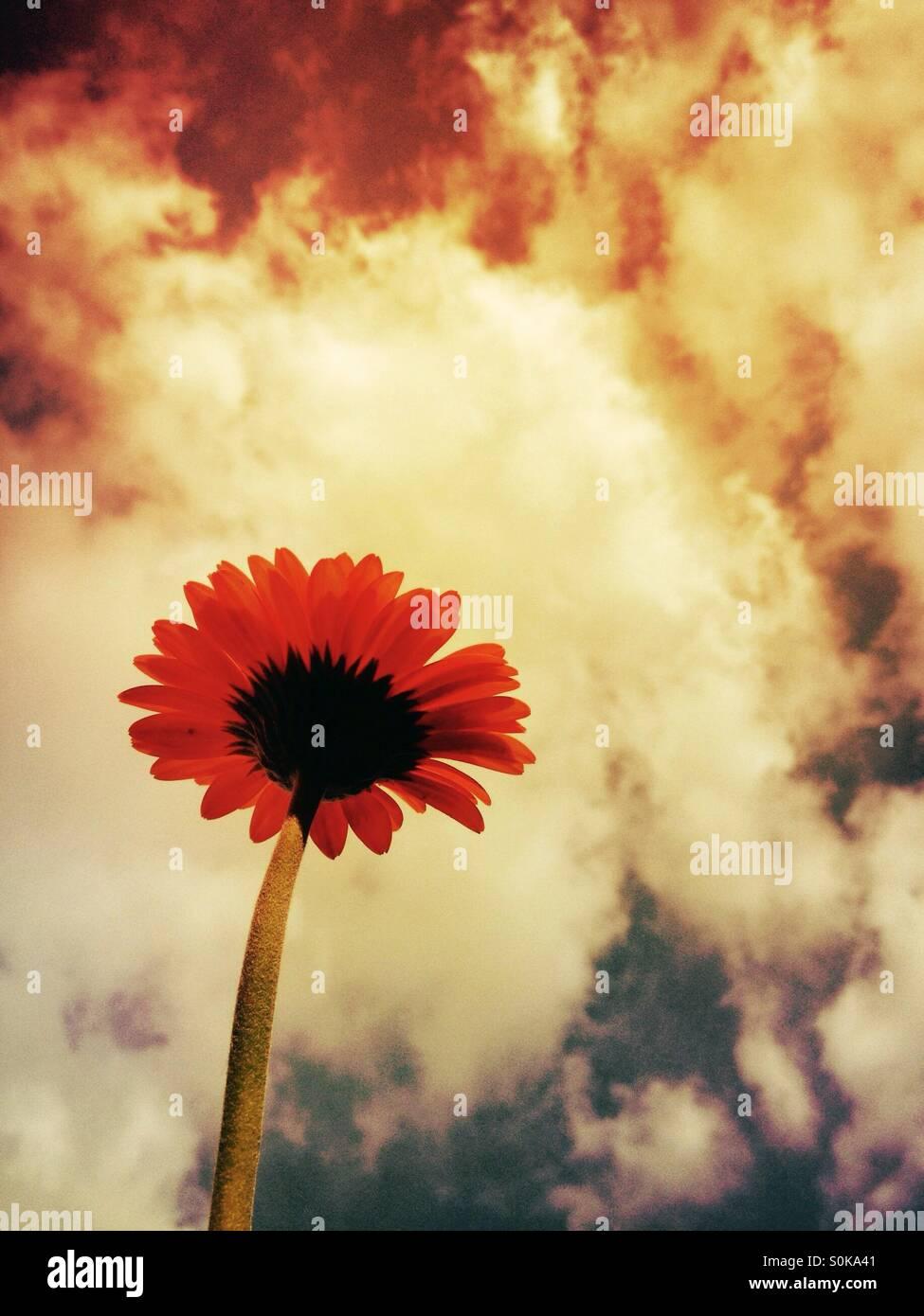 Gerbera flower avec un fond de ciel moody Banque D'Images
