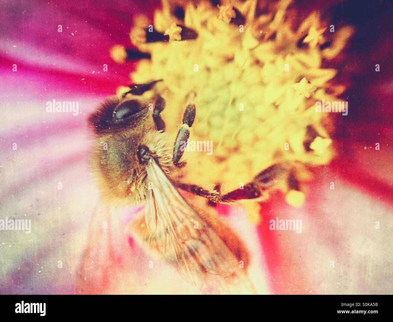Abeille pollinisant un cosmos flower Banque D'Images