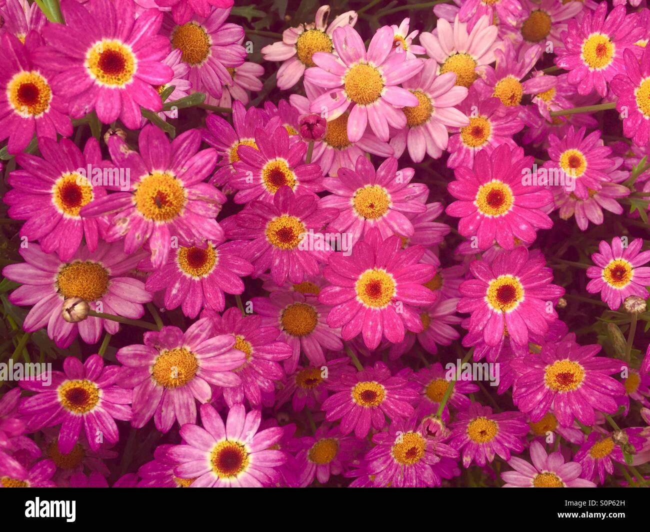 daisy rose Photo Stock