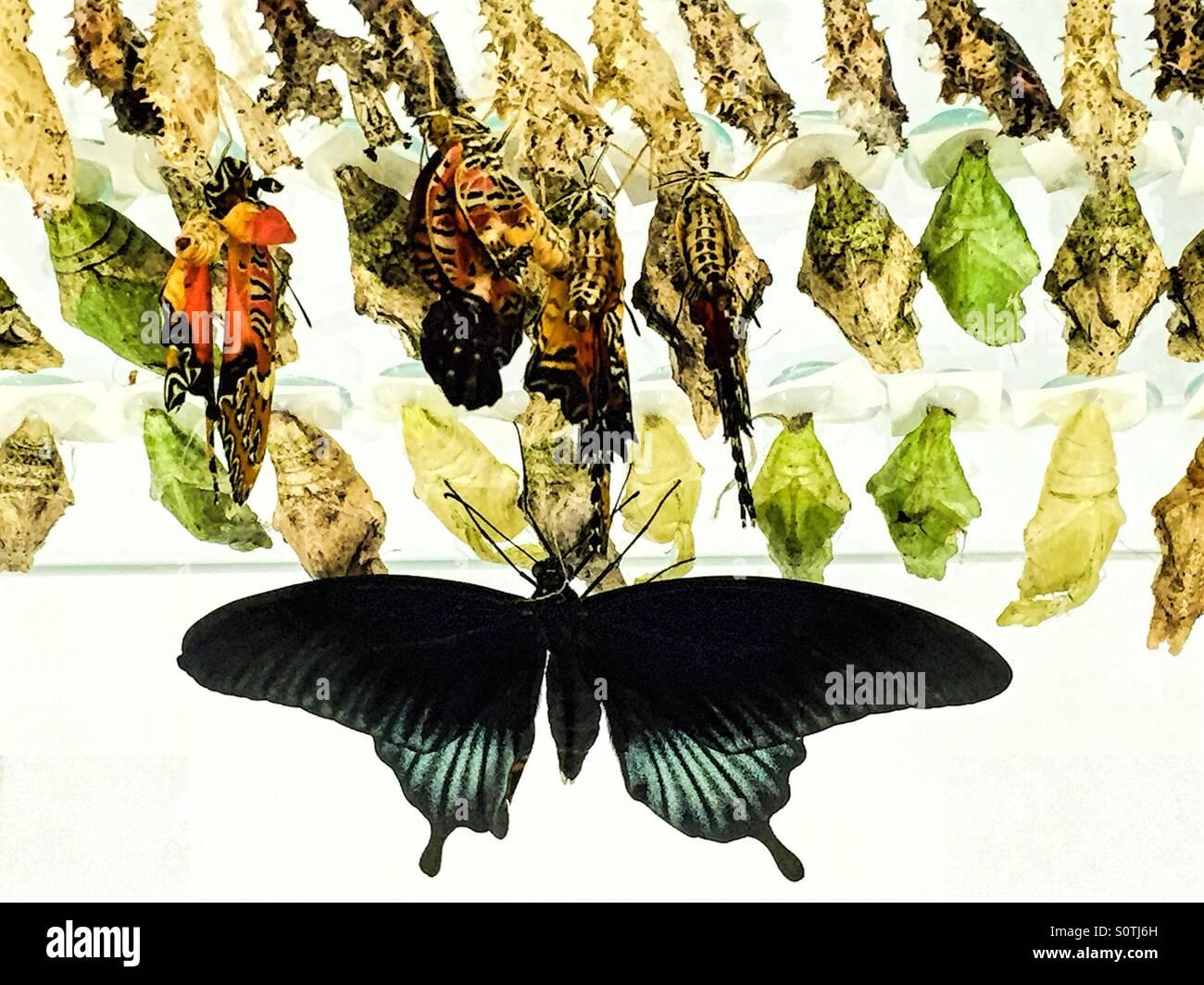 Belle black butterfly accrochée à sa chrysalide. Photo Stock