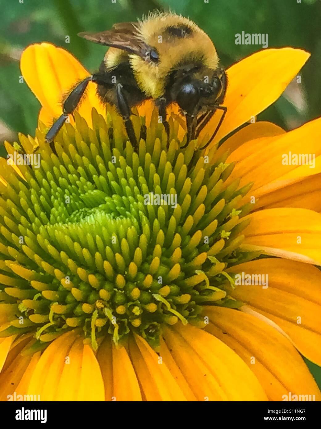 Bourdon pollinisateur, la fleur. Banque D'Images