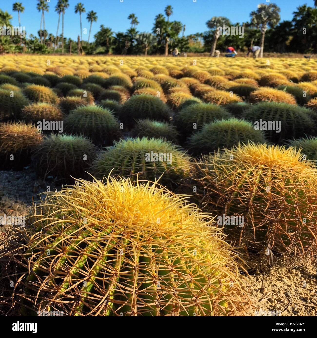 Domaine de cactus. Jardin Wirikuta, Los Cabos, Mexique Photo Stock