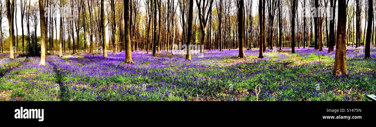Bois Bluebell Photo Stock