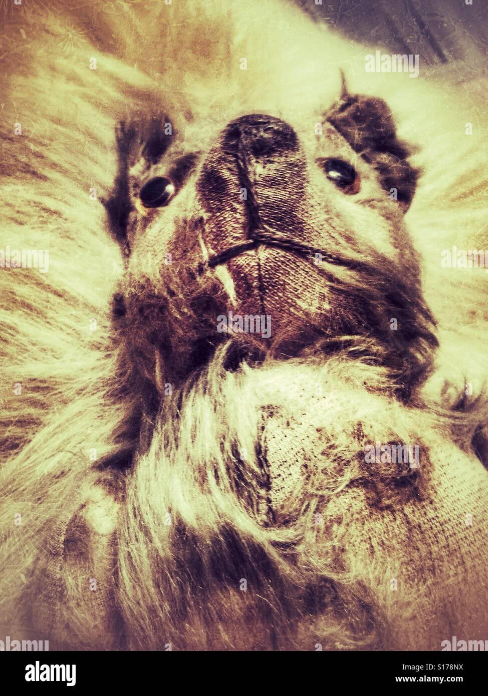 Sinister à ours vintage. Banque D'Images