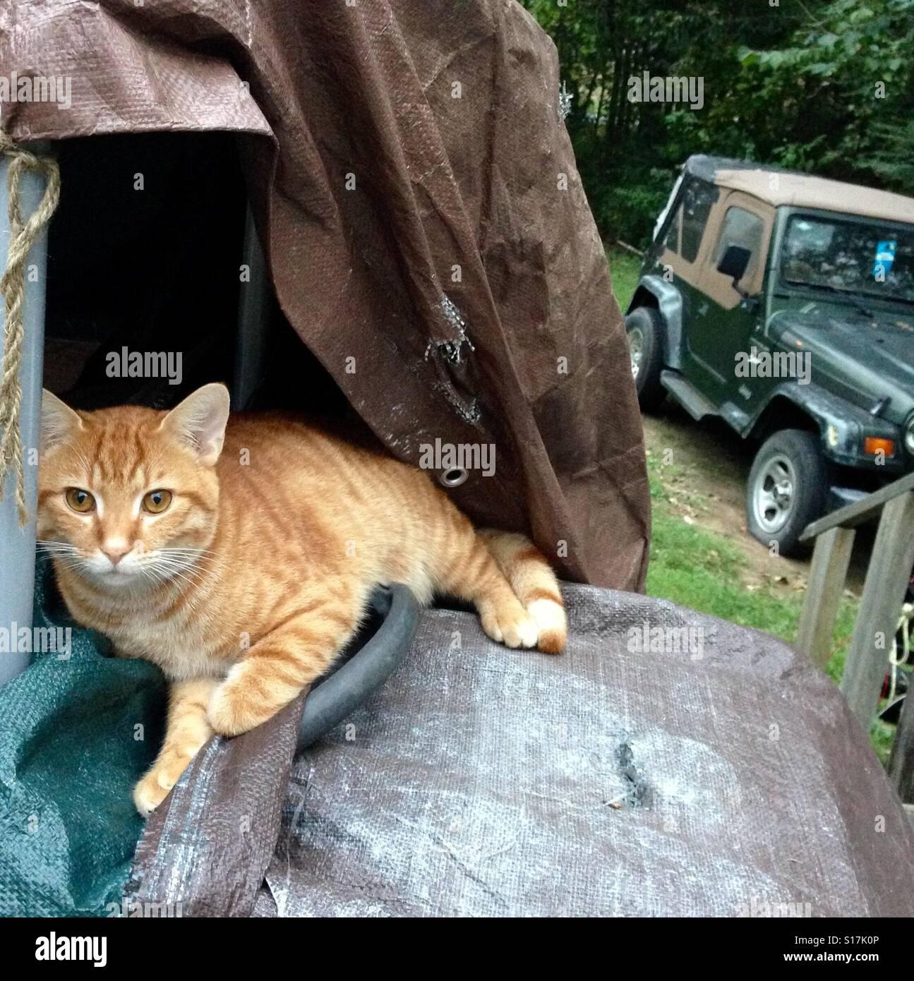 Belle et d'urdered' orange tabby tomcat, un animal en plein air bien-aimé que mon mauvais voisin a Photo Stock