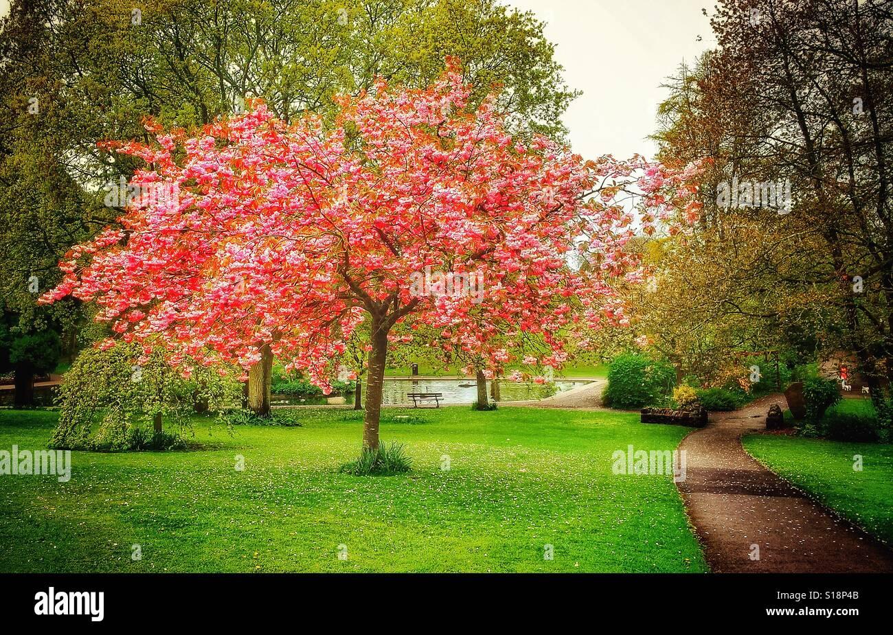 Belle fleur de cerisier arbre dans un parc urbain, UK dans la saison du printemps Photo Stock