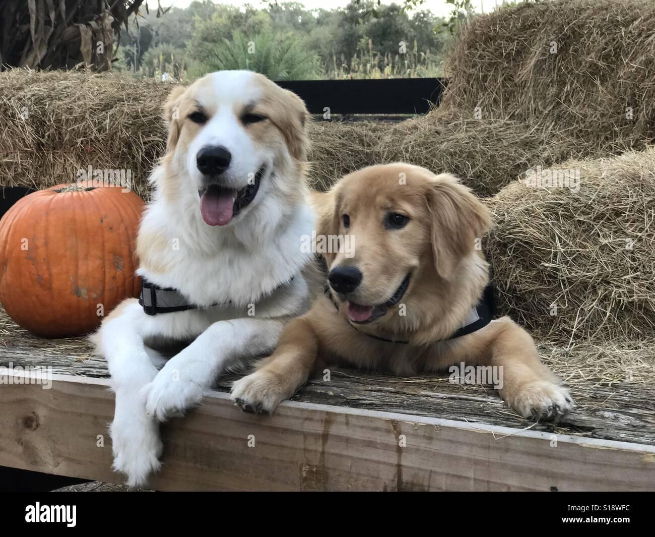 Les chiens assis à côté de foin. Photo Stock