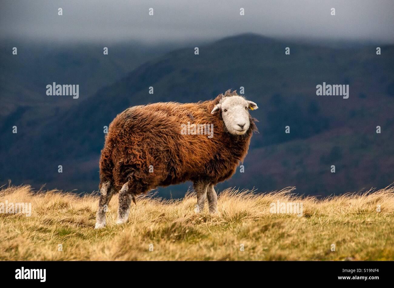 Moutons balayées par le vent Banque D'Images