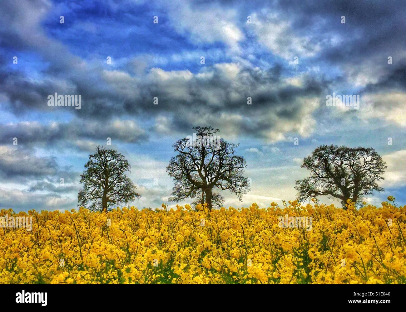 Trois arbres dans un champ de fleurs jaune d'oléagineux. Le ciel dramatique signifie la pluie n'est Photo Stock