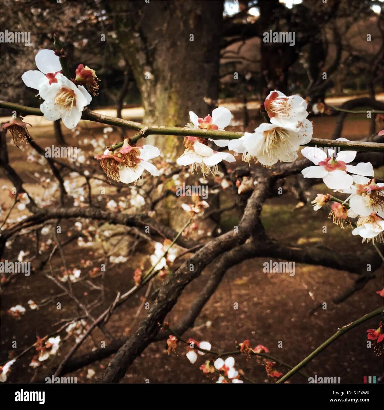 Au début du printemps de la mémoire de Sakura au Japon Photo Stock