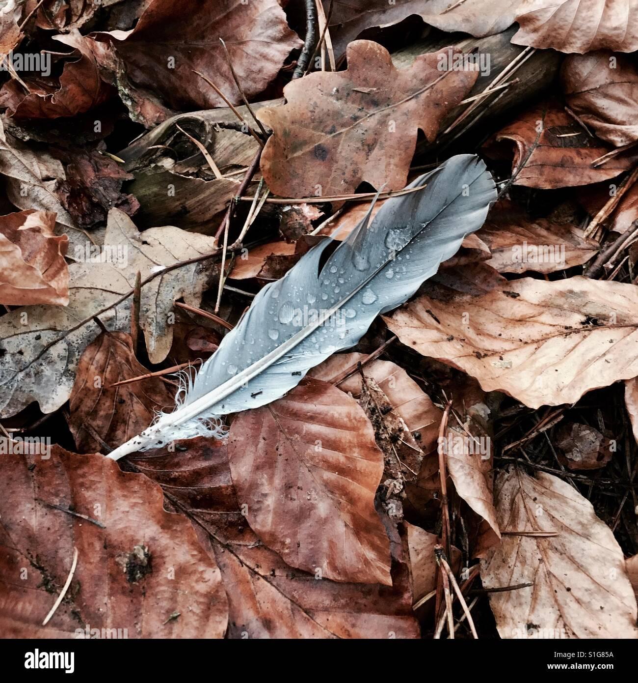 Plume d'oiseau parmi les feuilles d'automne avec des gouttes de pluie Photo Stock