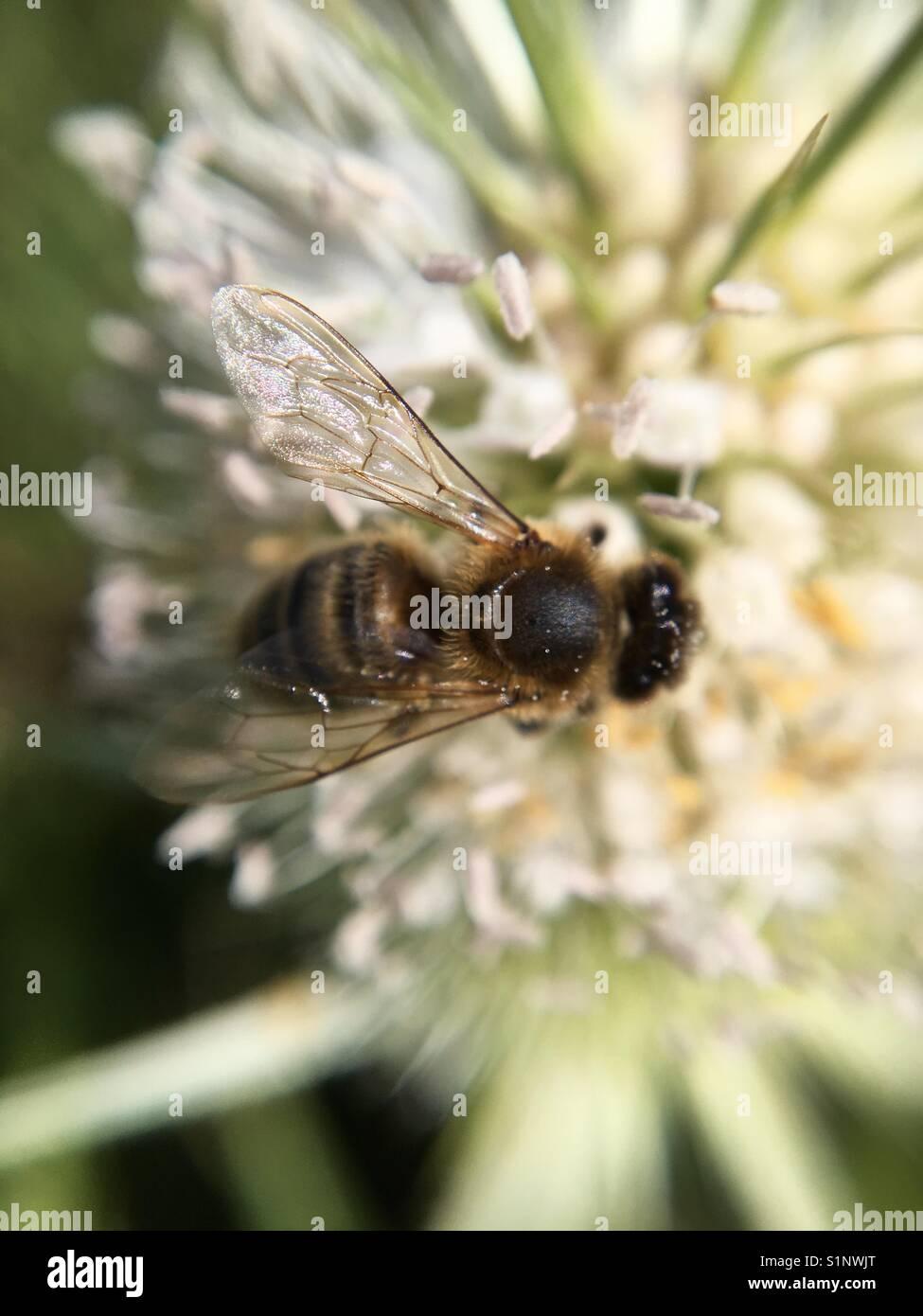 Au plus près de l'abeille sur fleur sauvage Photo Stock