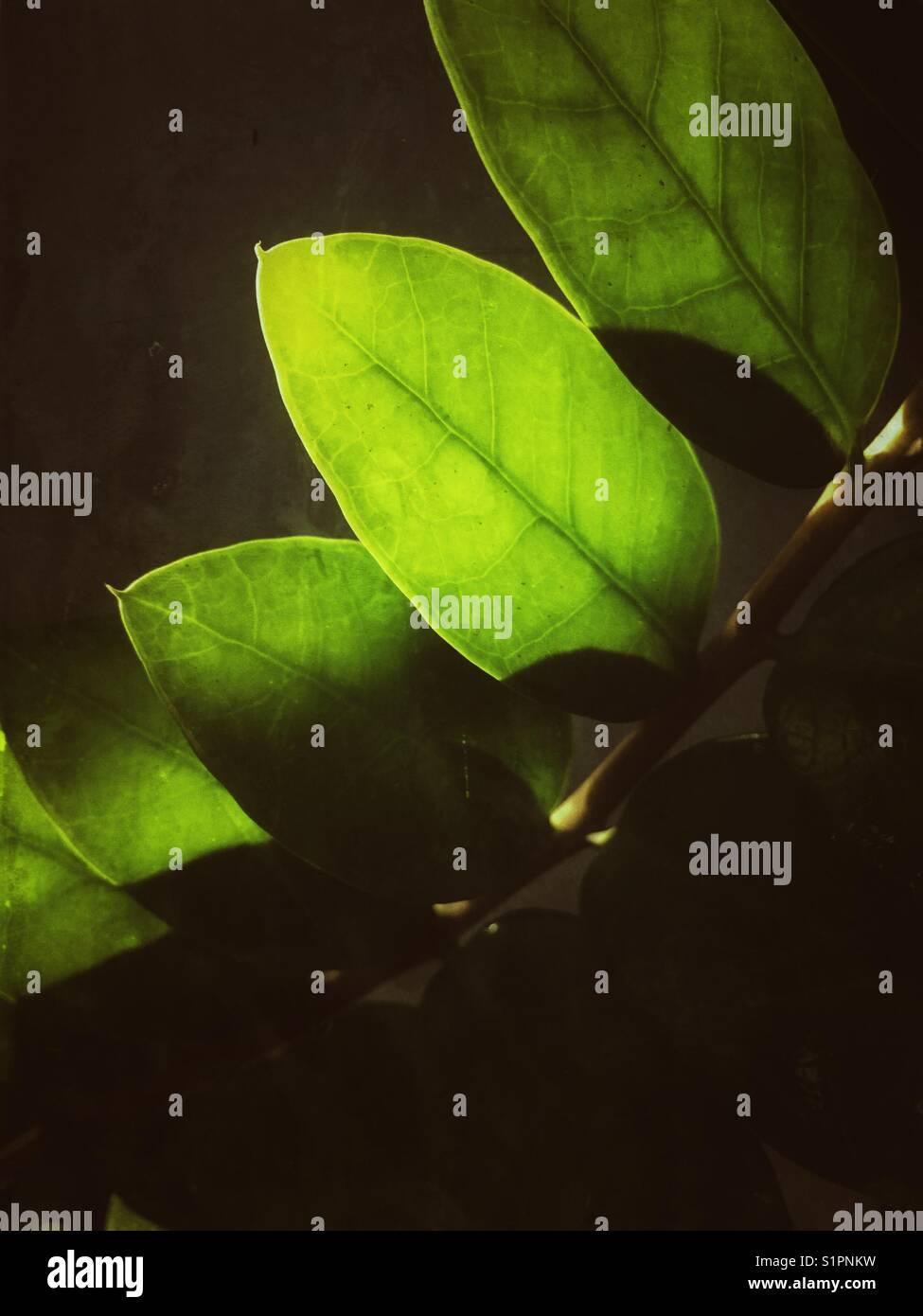 Les feuilles au soleil. Photo Stock