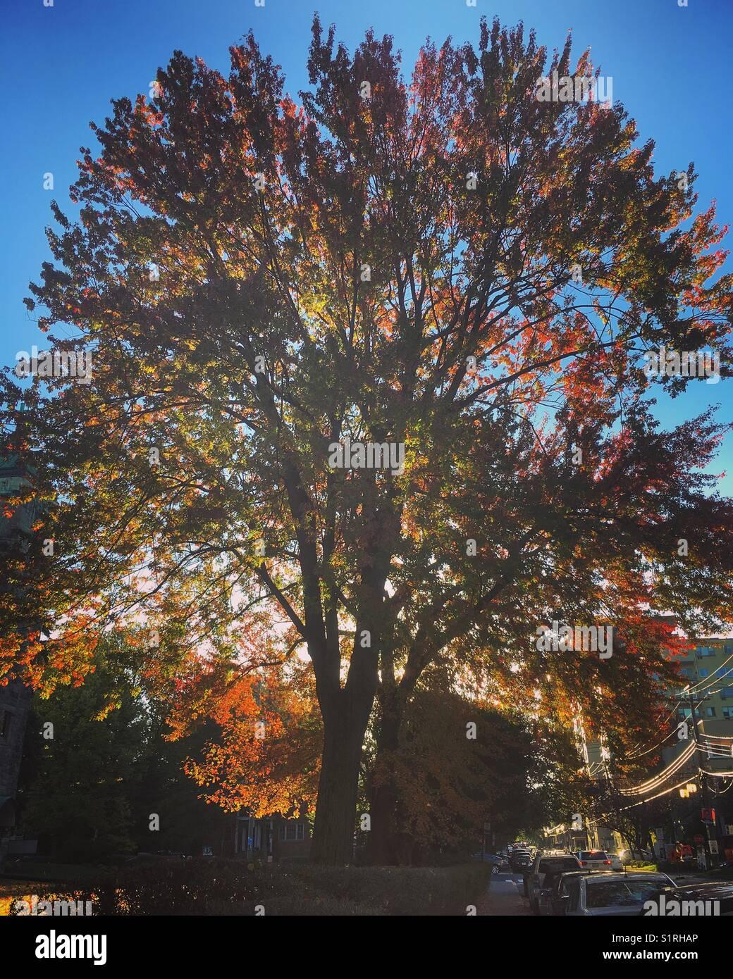 Arbre majestueux à l'automne Photo Stock