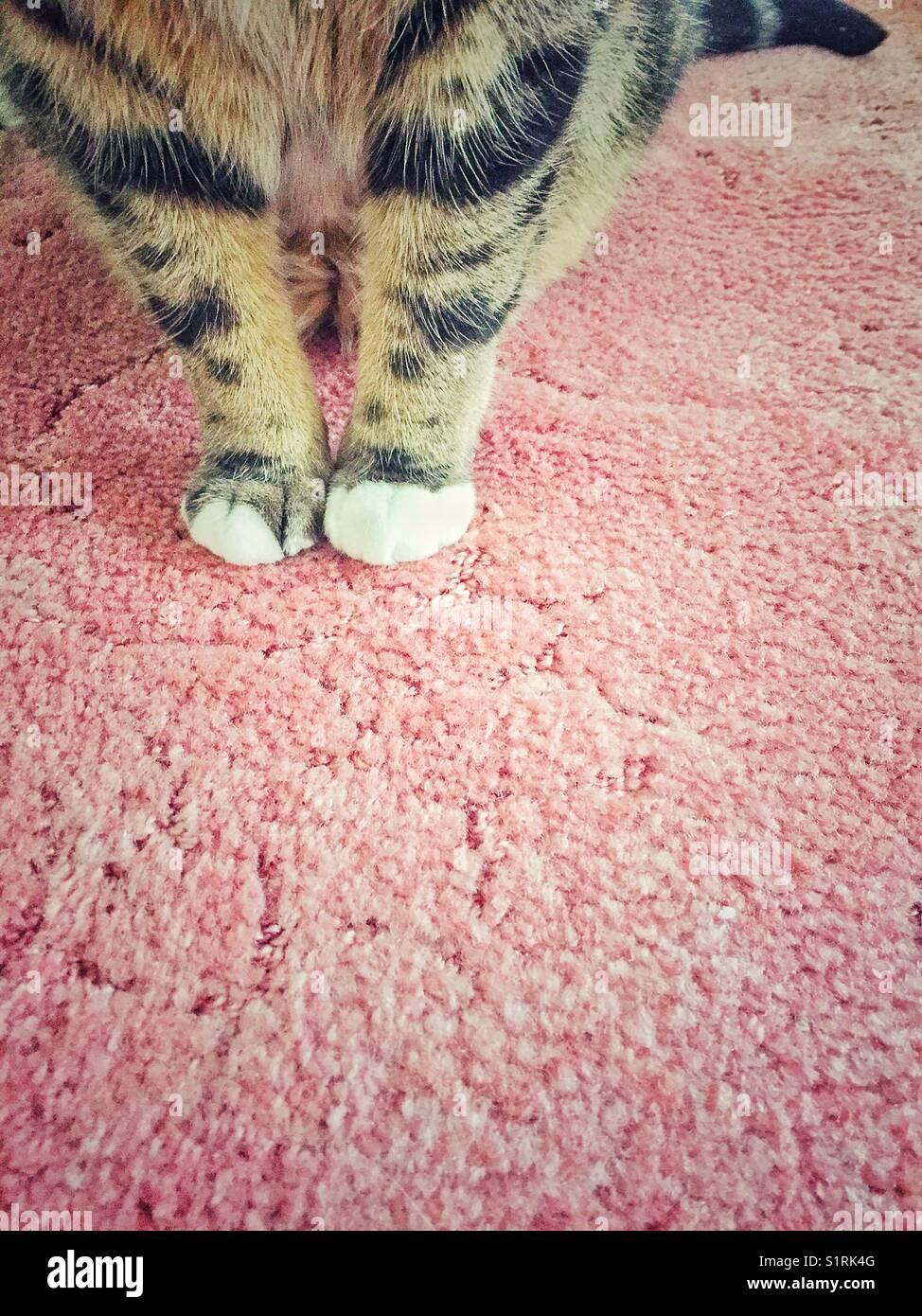 Chat tigré jambes avant qu'il est assis sur un tapis. Photo Stock