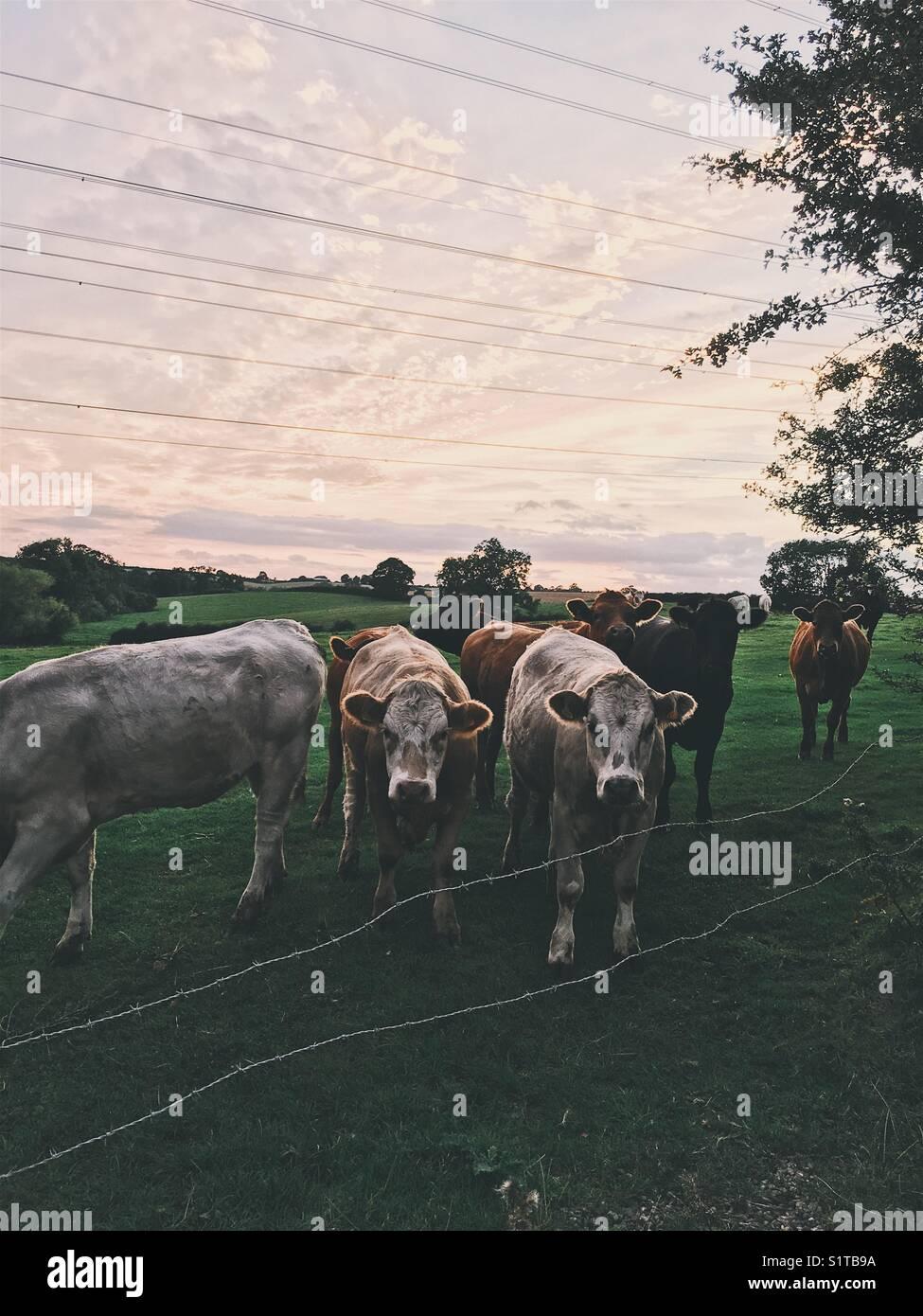 Friendly vaches Banque D'Images