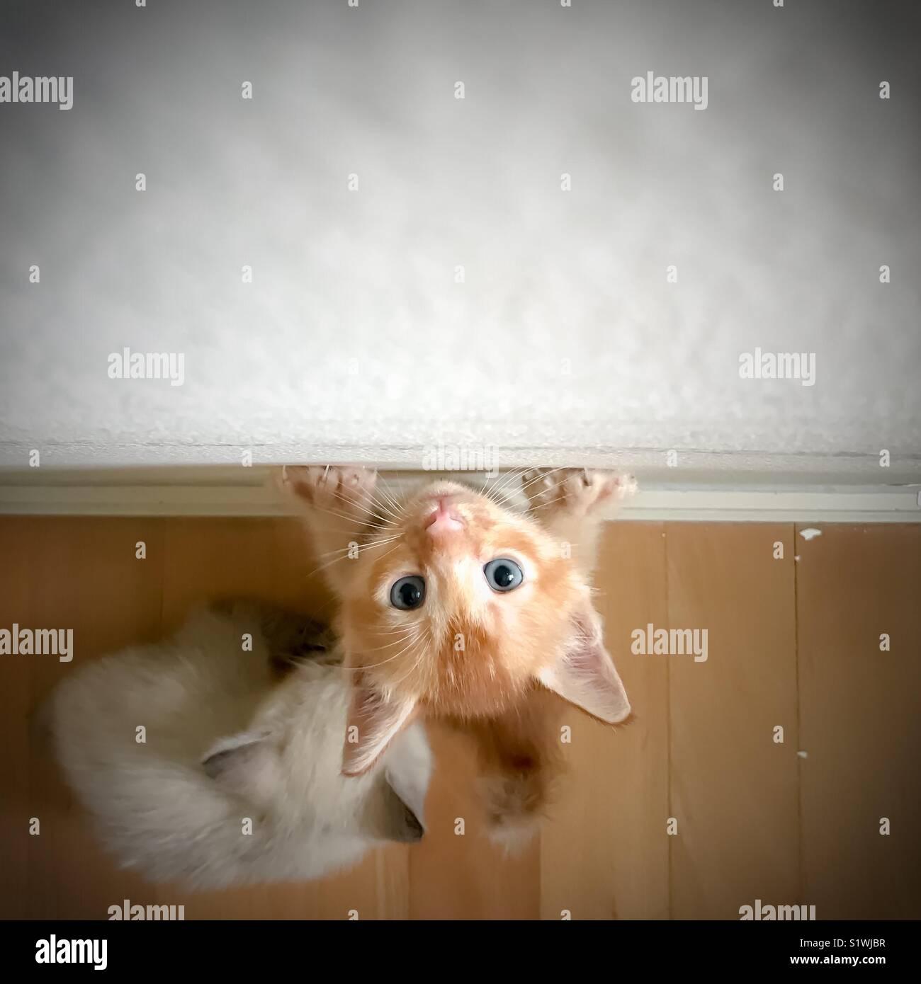 Chaton essaie de grimper jusqu'à la recherche d'attention mur Photo Stock