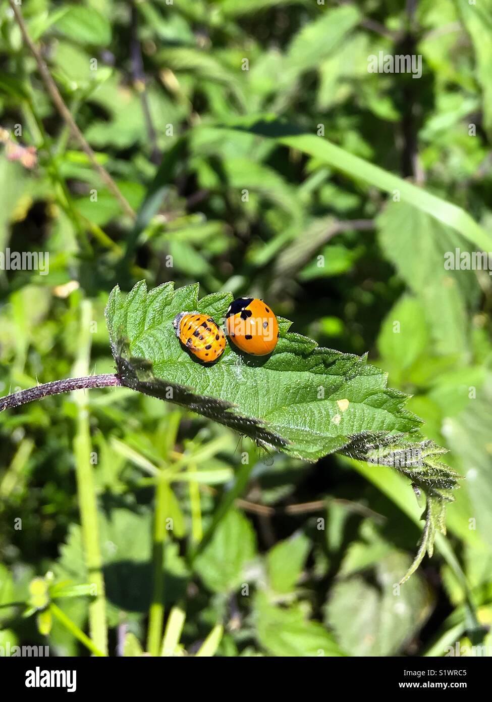 Coccinelle et larve pupe sur une feuille verte Photo Stock