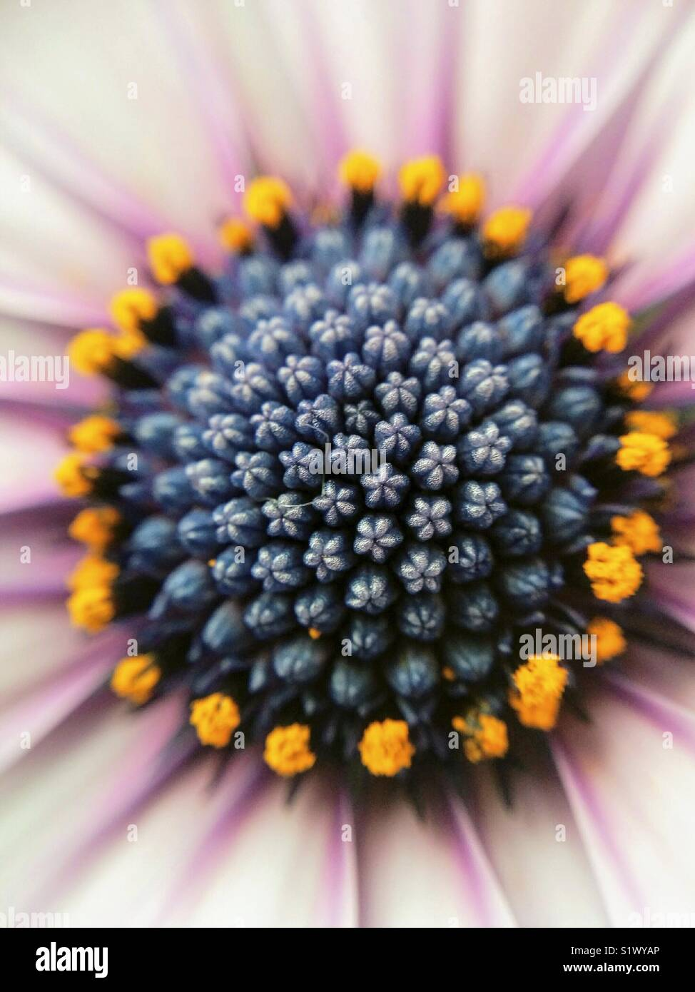 Centre de African daisy. Macro. Ostéospermum. Photo Stock