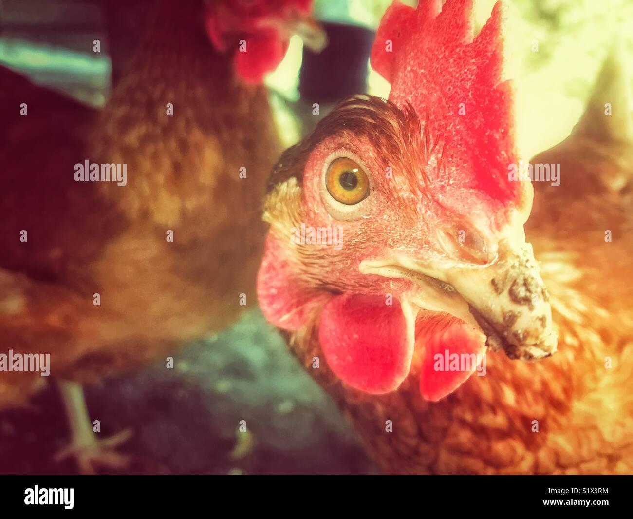 Rhode Island Red chicken libre avec des poules et chaude lumière en arrière-plan Banque D'Images