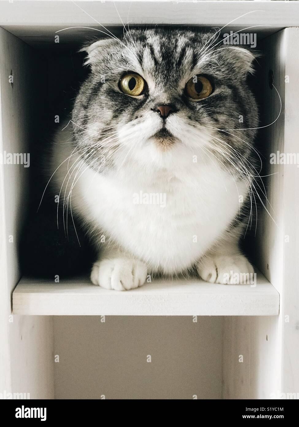 Scottish Fold chat domestique Photo Stock