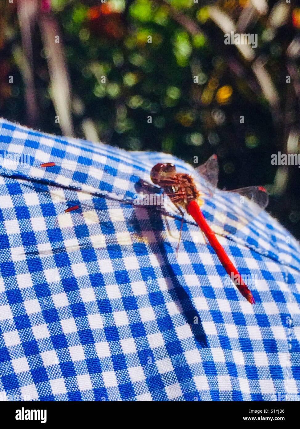 Touch d'une libellule Photo Stock
