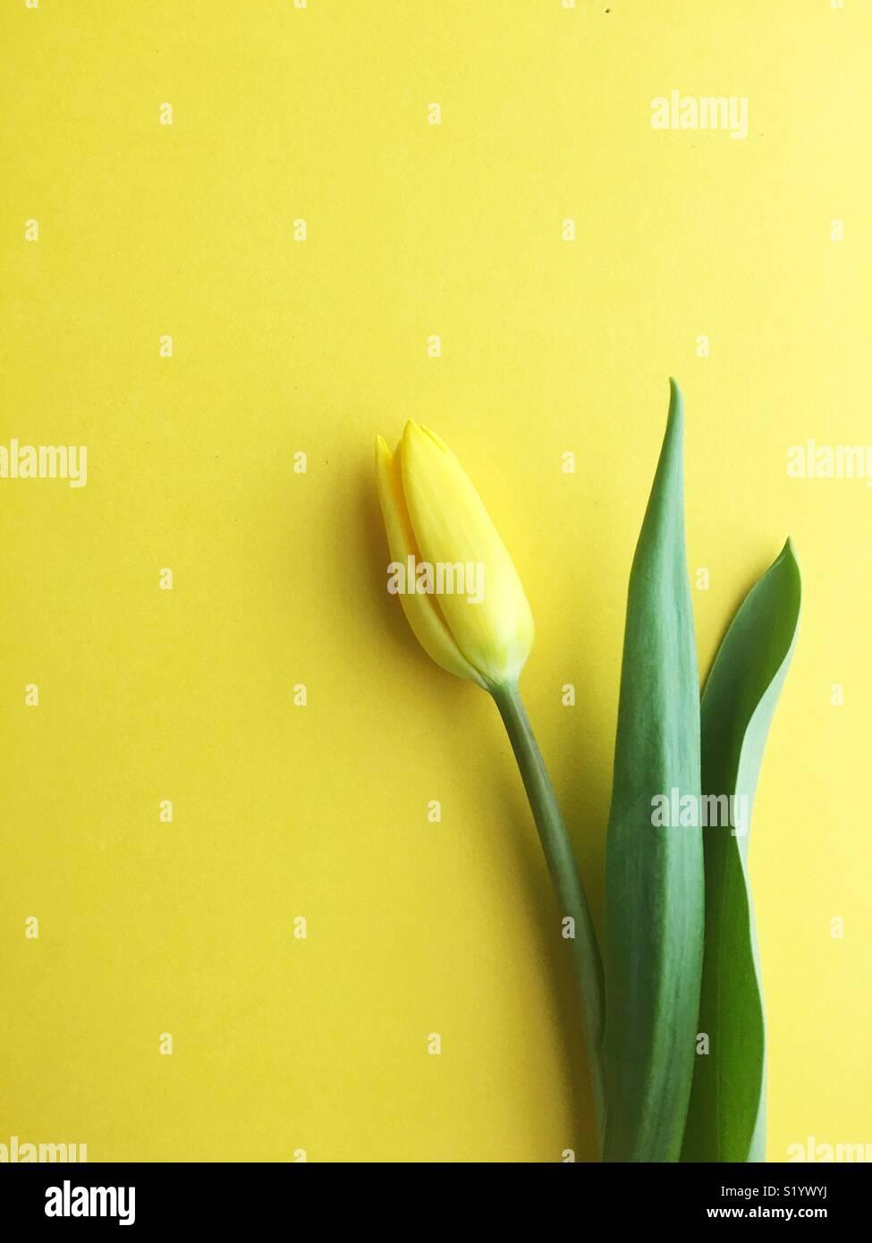 Une seule tulipe jaune. Photo Stock