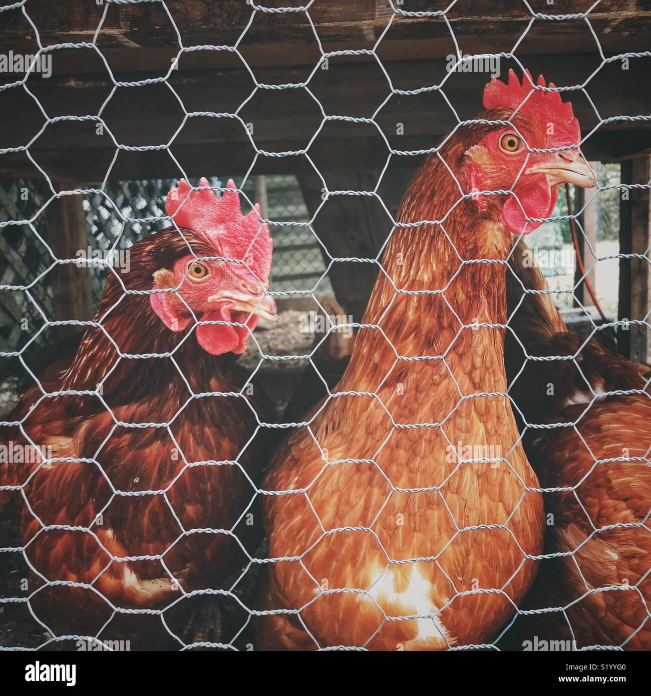 Les poules Rhode Island Red jardin derrière le fil de poulet au stylo sous coop Photo Stock