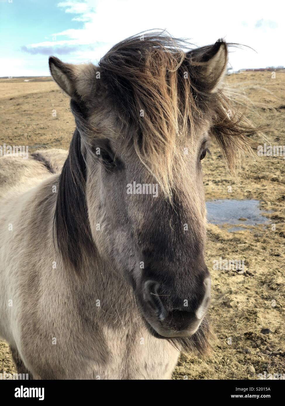 Cheval islandais - ne pas les appeler poneys;-) Photo Stock