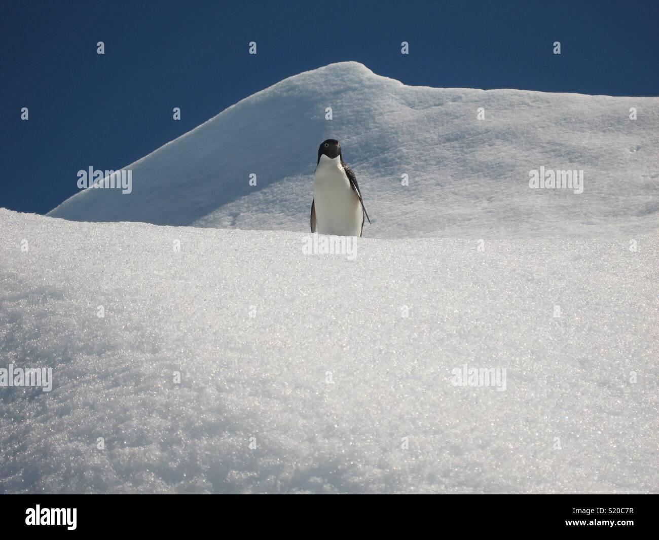 Adelie Penguin, péninsule antarctique. Photo Stock