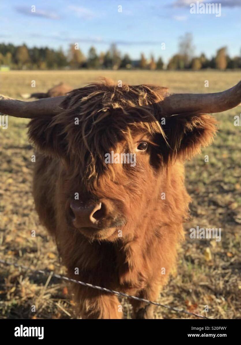 Vache poilu mignon Photo Stock