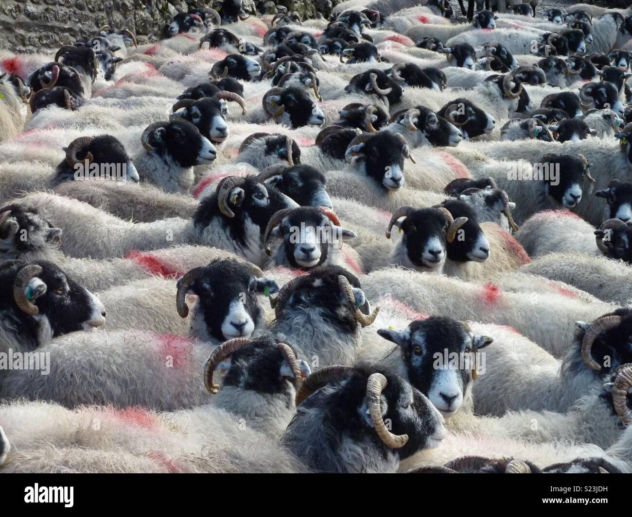 Moutons de Swaledale Photo Stock