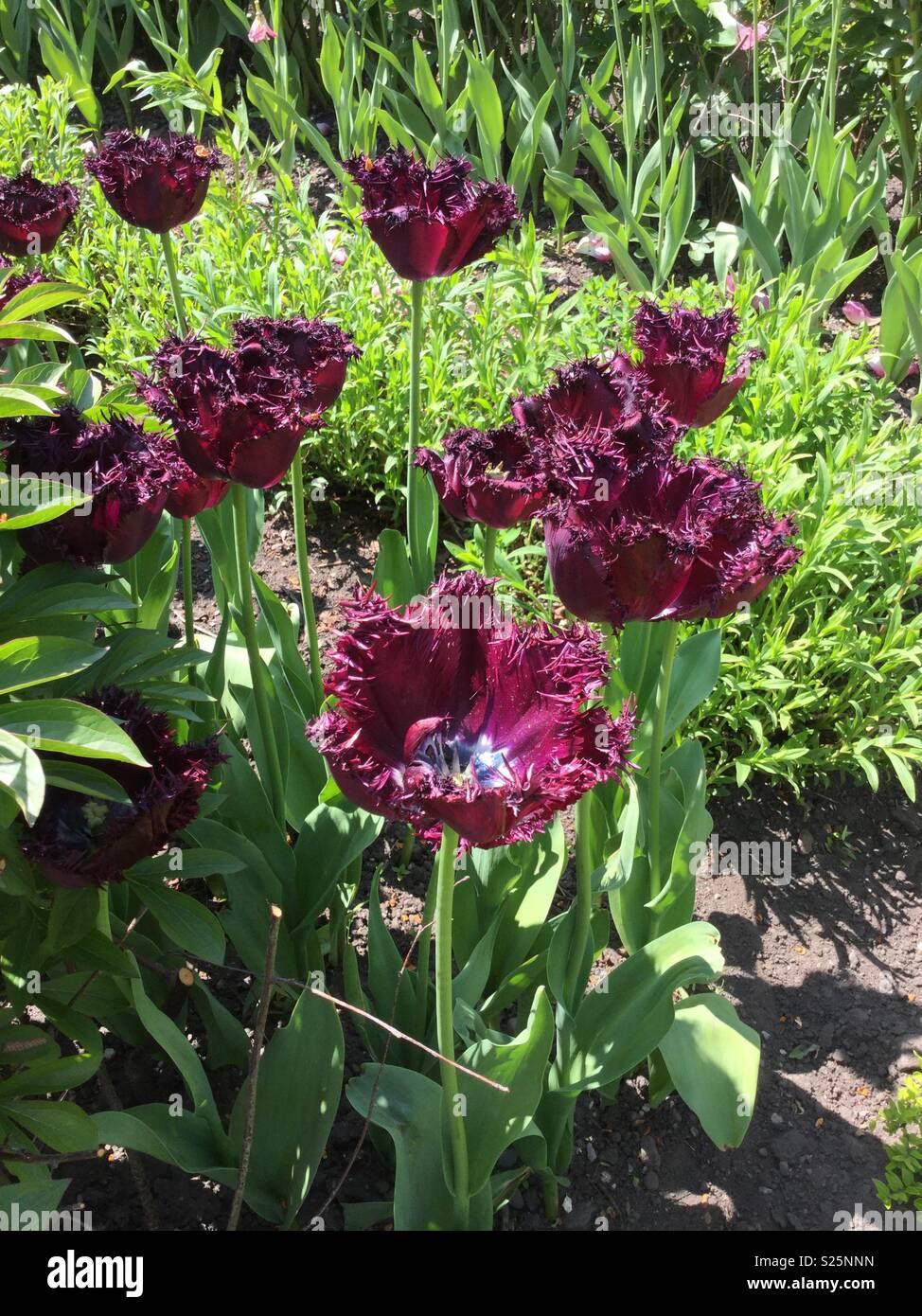 Fleurs de jardin d\'Alnwick. Mai 2018 Banque D\'Images, Photo Stock ...