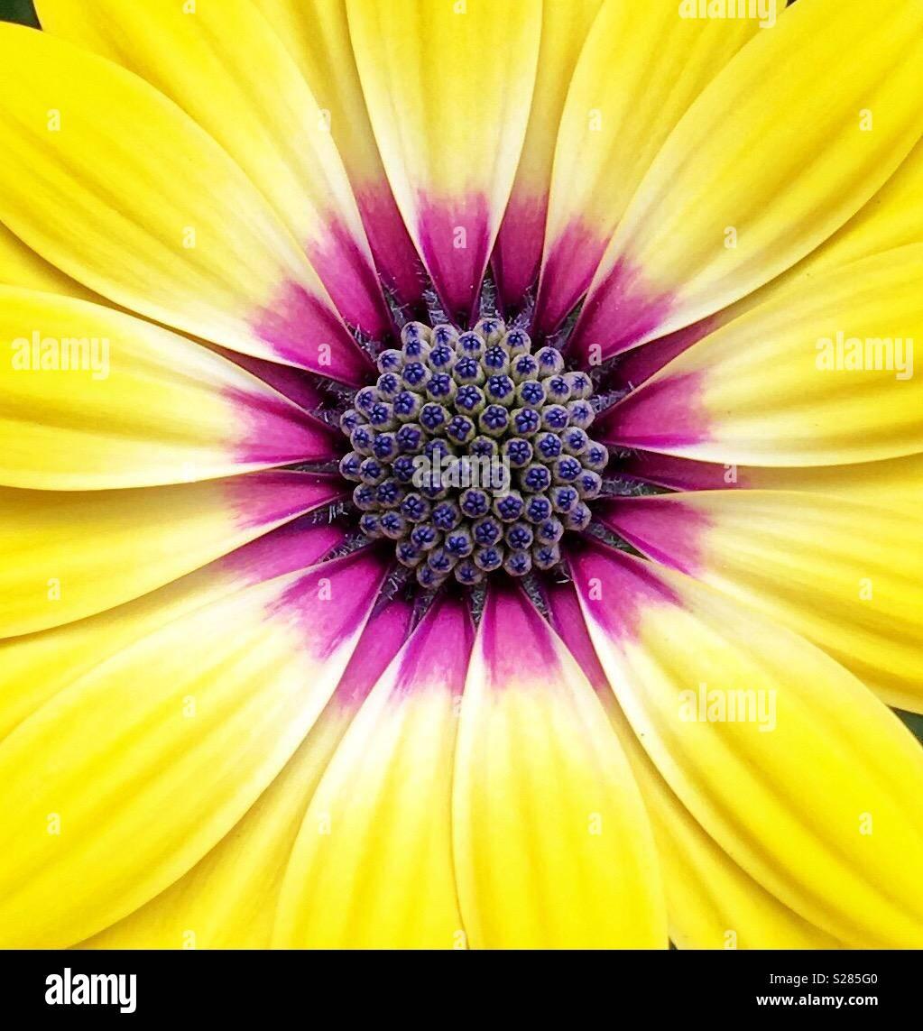 Marguerite jaune avec centre rose et pourpre Photo Stock