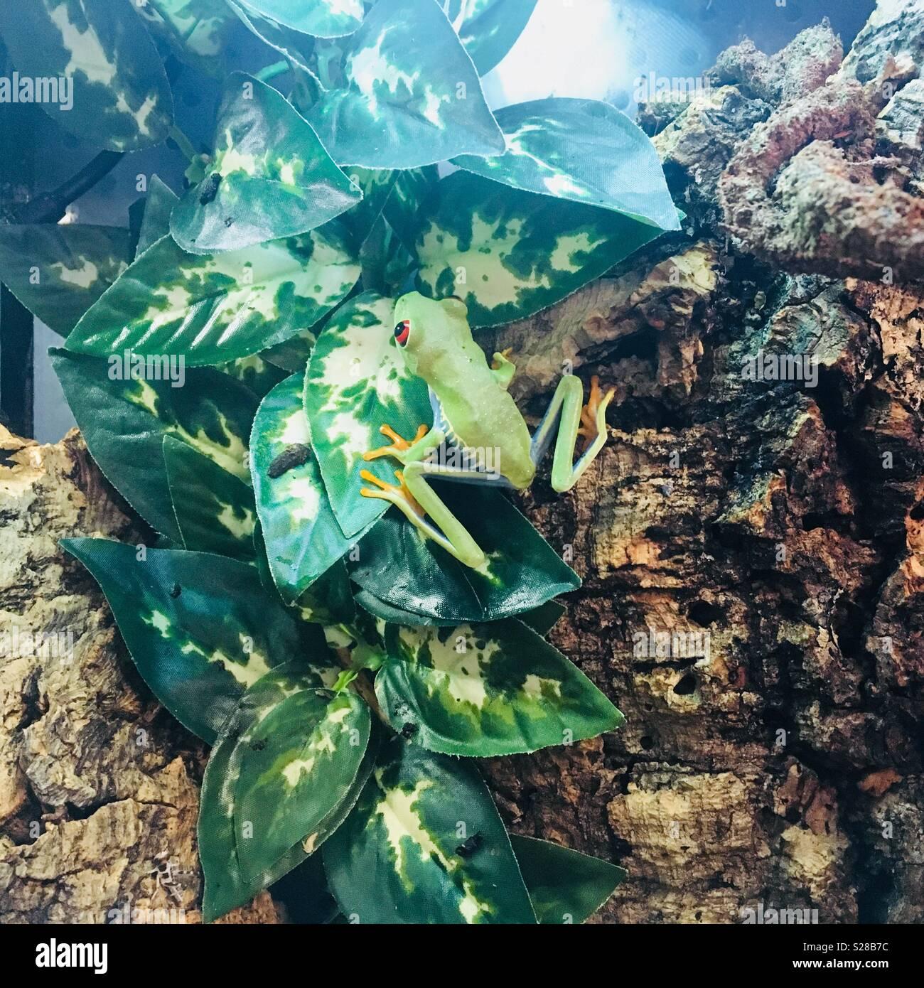 Une grenouille d'arbre au feuillage Photo Stock
