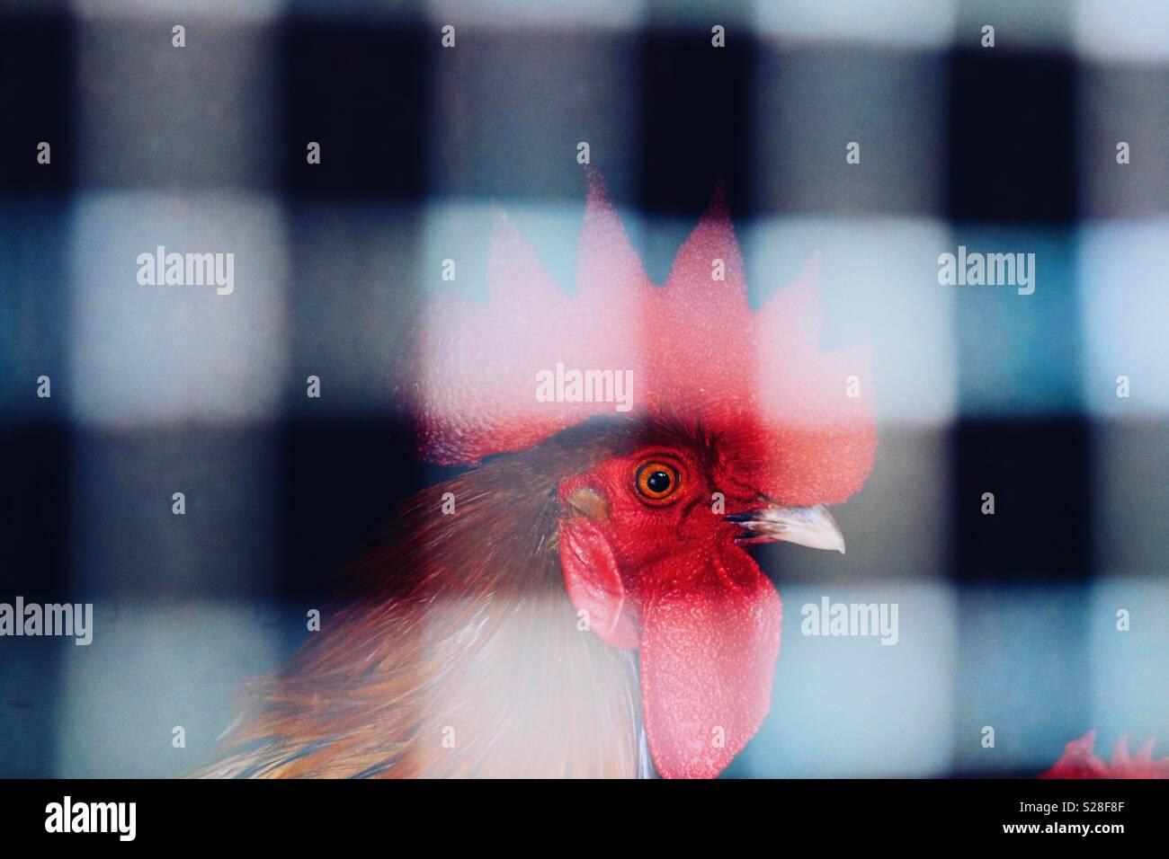 Dans la cage de poulet Photo Stock