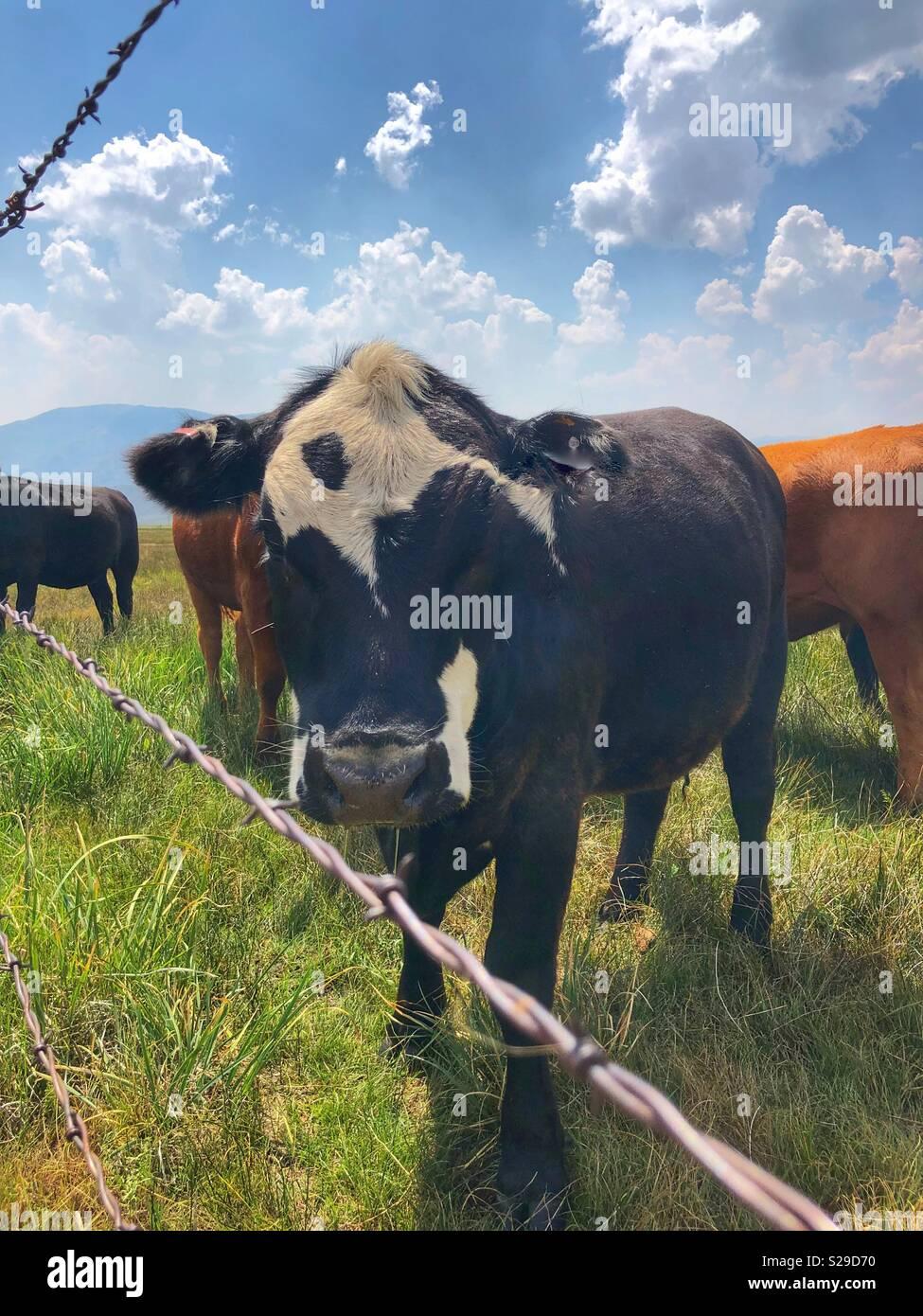 Jusqu'à la vache avec près de moi Photo Stock