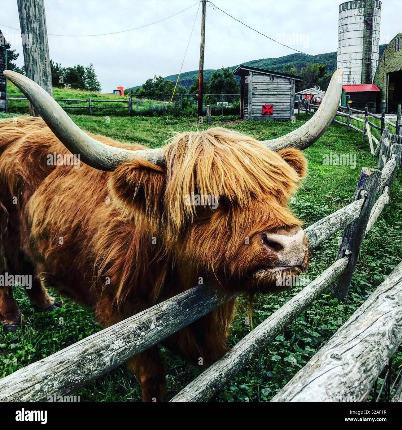 Highland cattle dans un zoo pour enfants à l'échelle indienne de fermes dans le Nord de New York Photo Stock