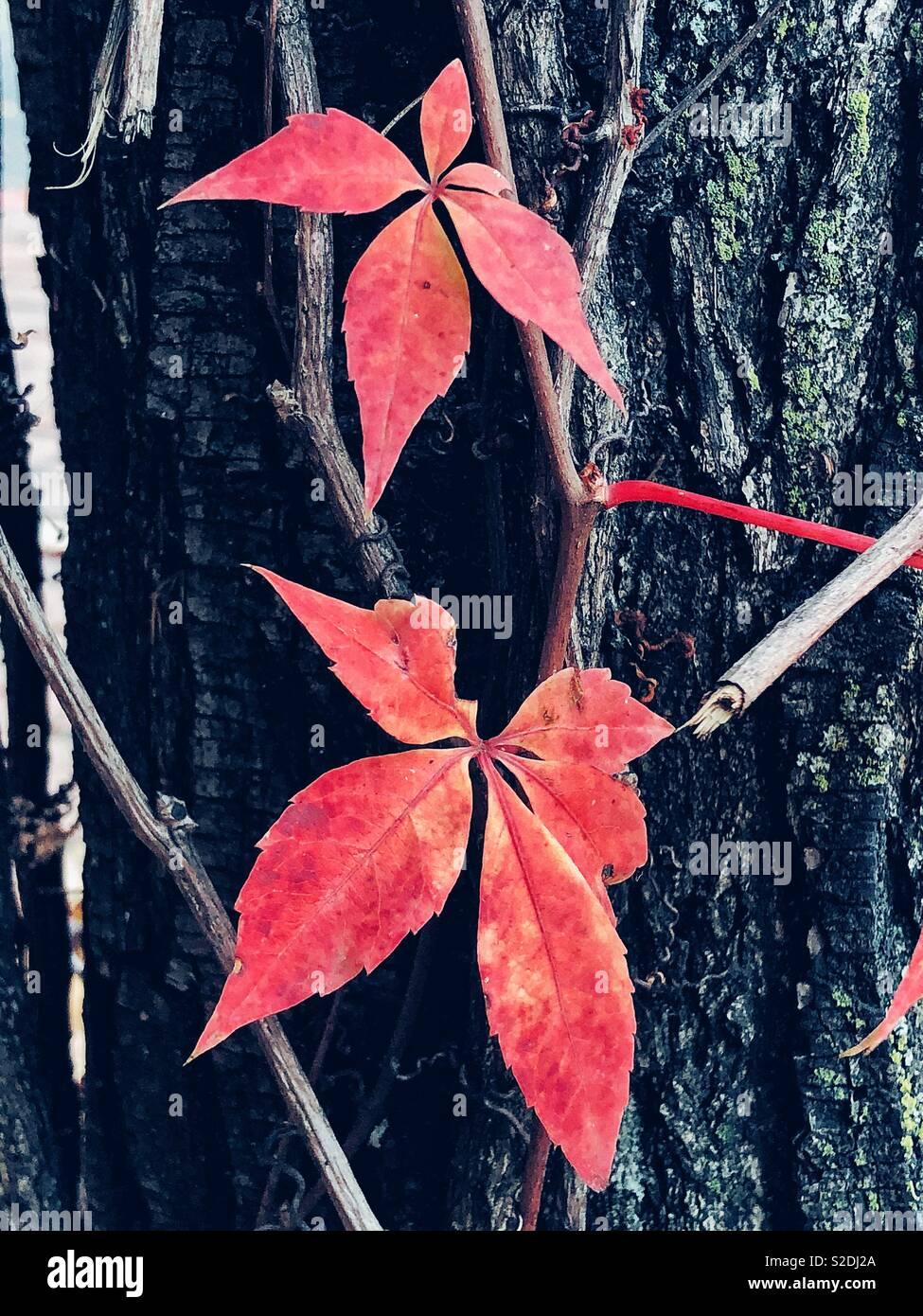 Feuilles de vignes sauvages en rouge Photo Stock