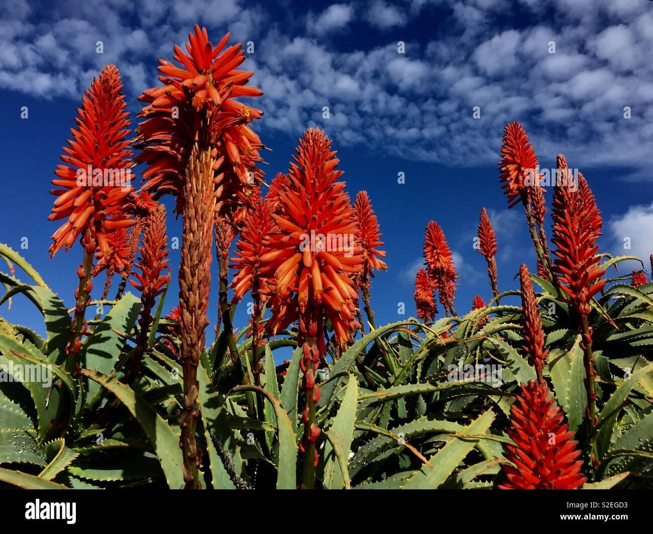 Fleur D Agave Rouge Banque D Images Photo Stock 311336175 Alamy