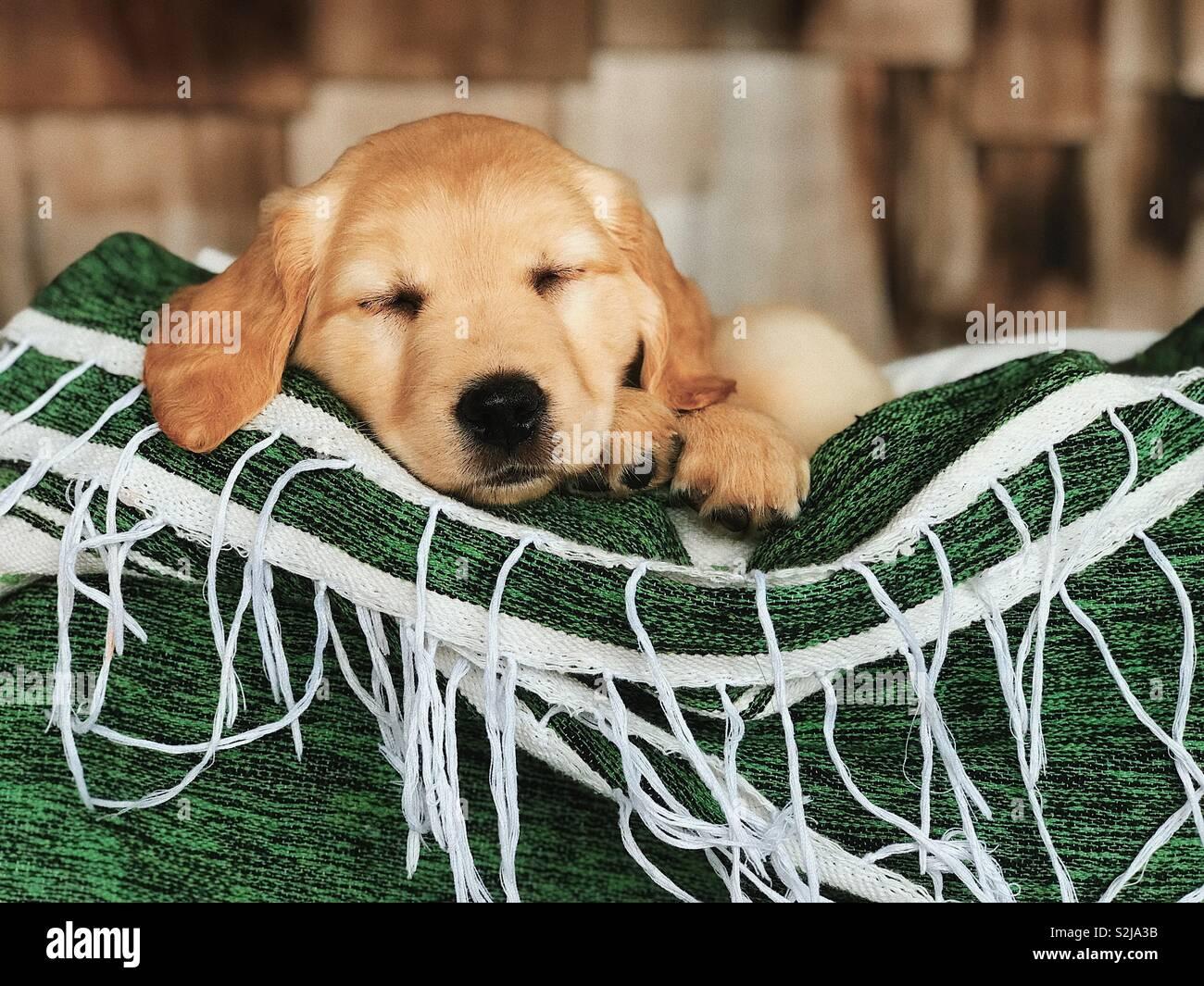 Chiot mignon dormir Banque D'Images