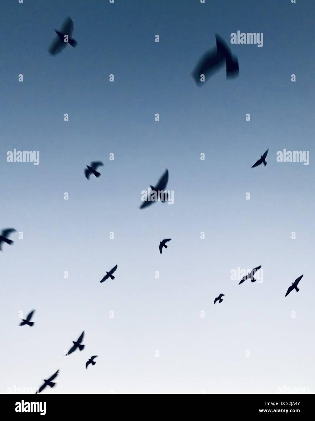 Les pigeons voler dans le ciel bleu. Photo Stock